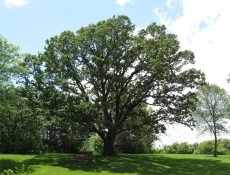 Large tree and a bench at Cooper's Cove Park