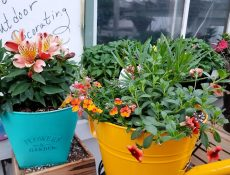 Greenery and flowers planted in blue and yellow pots