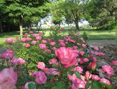 Pink roses at Rosenberger Park