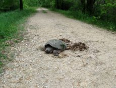 Snapping turtle on trail