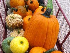 Pumpkins in a metal wagon