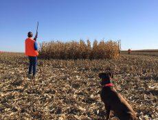 Hunter and dog in a cornfield